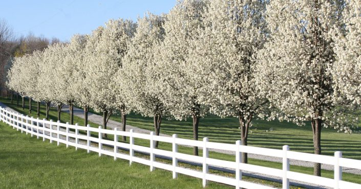 Pear trees along a white picket fence